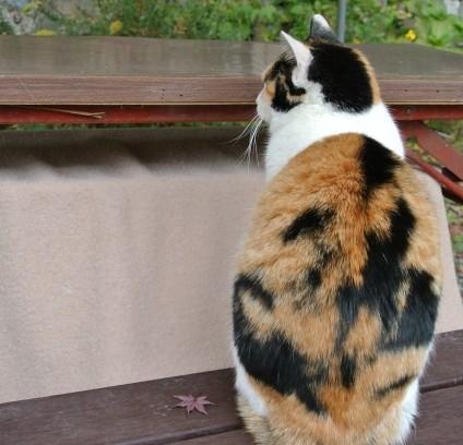 三毛猫のオスが持つ遺伝的事情