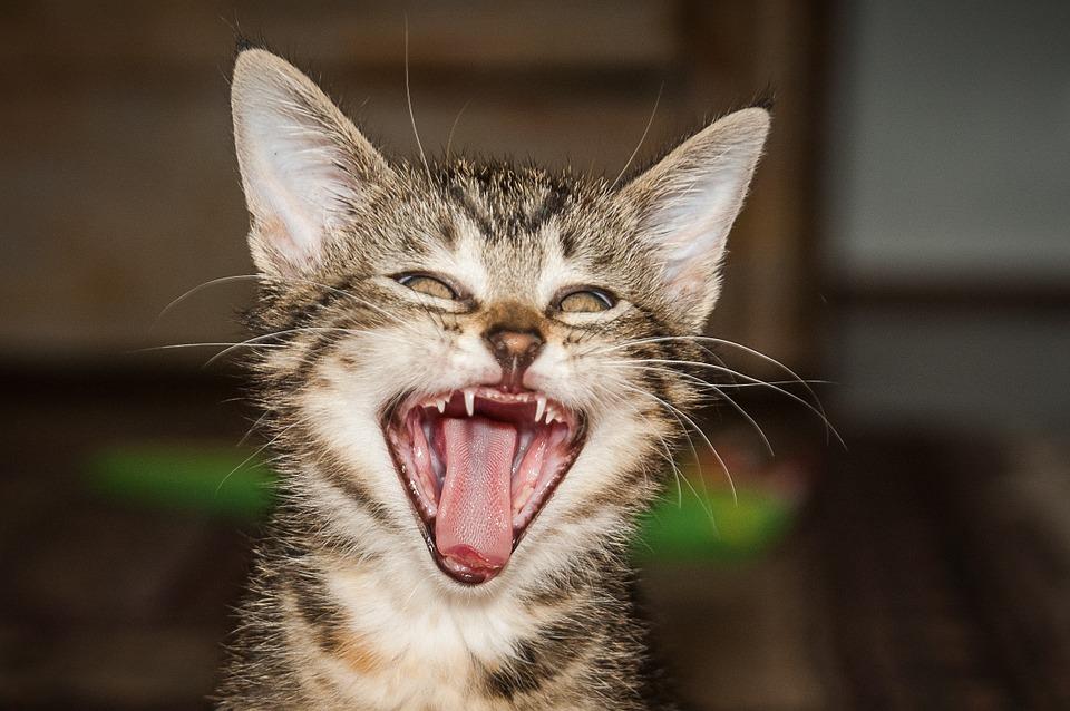 猫の歯磨きは難しい