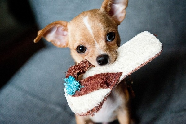 portrait-of-cute-chihuahua-puppy-carrying-slipper-in-mouth