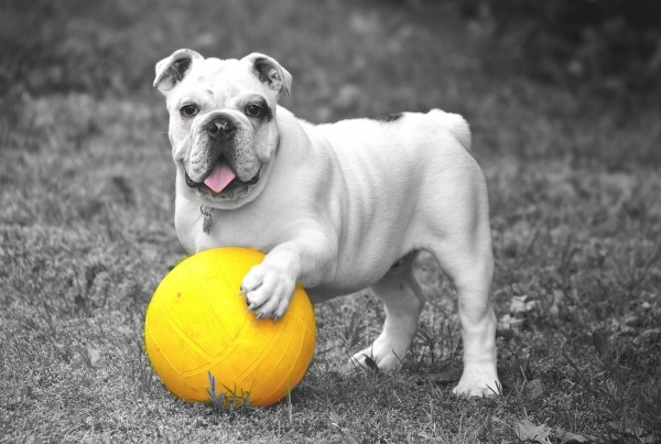 portrait-of-playful-bulldog-with-yellow-ball